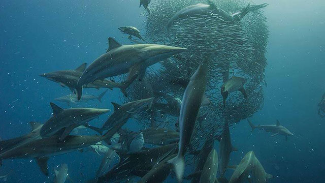 Sardine Run in South Africa - Africa Discovery