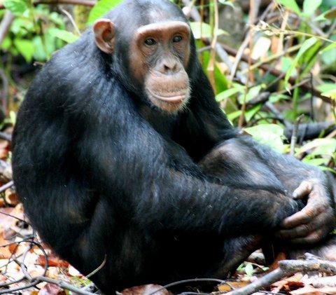 Chimpanzee trekking - Nyungwe National Park