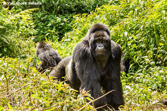 Tracking the mountain gorillas in Parc National des Volcans (PNV)