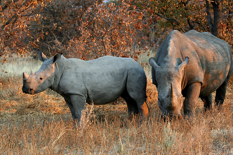 Wilderness Safaris Partners with Governments to Move More Rhino to Safety