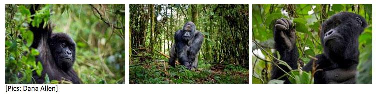 Gorillas in Rwanda - Wilderness Safaris