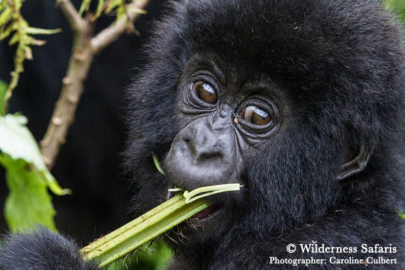 Gorilla in Rwanda - Wilderness Safaris