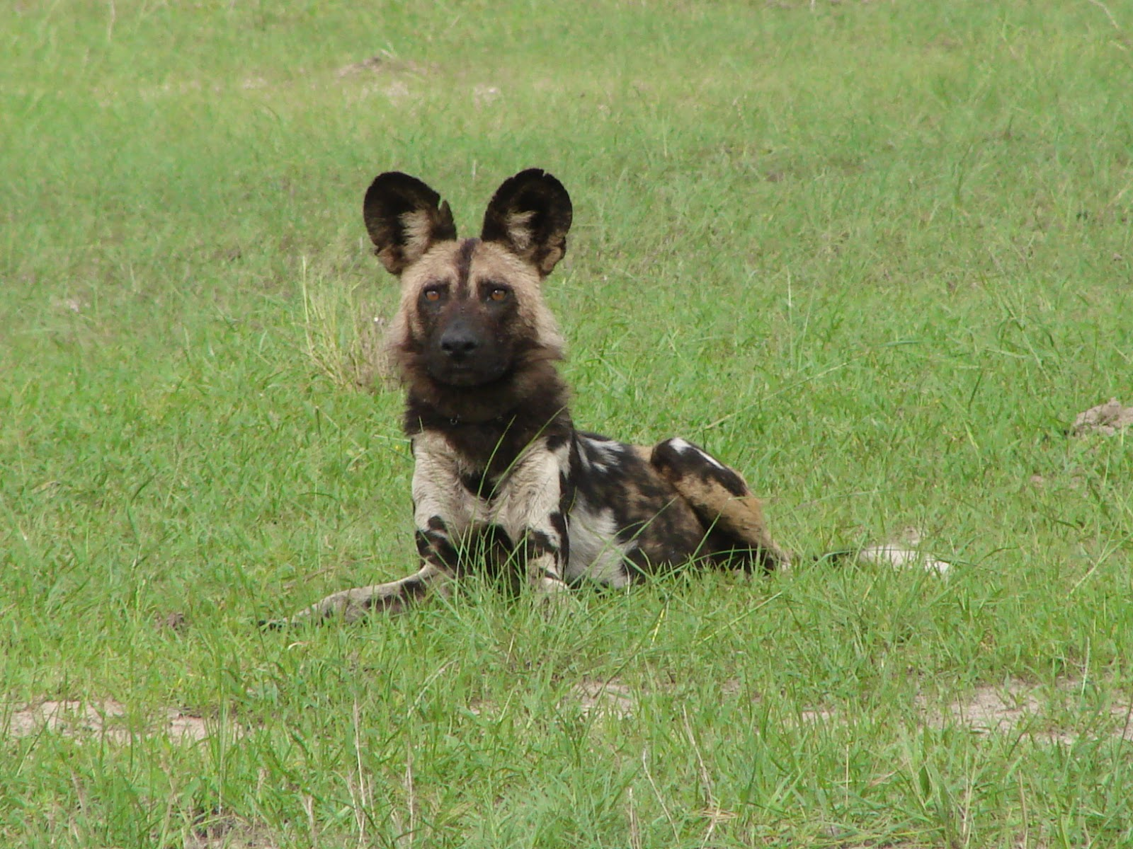 Wild dog near Bomani