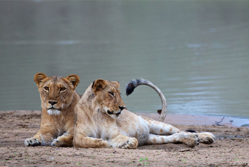 Lionesses in Chad