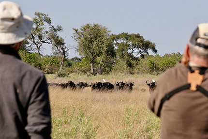 Buffaloes - On Foot Through Botswana | Botswana Safaris & Tours