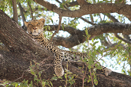Leopard - On Foot Through Botswana | Botswana Safaris & Tours