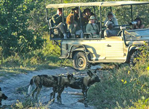 Wild dogs - Safaris and Tours in Botswana