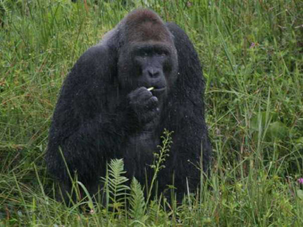 Low Land Gorilla
