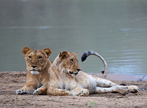 lionesses in Zakouma National Park