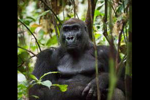 Western lowland gorilla silverback at Yatouga Research Camp, Gabon