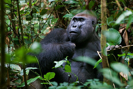 Lowland Gorilla - Dzanga Sangha National Park, March 24-31 2017 Group Trip