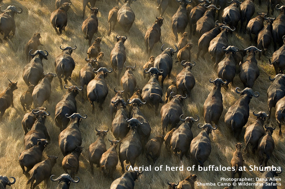 Aerial of herd of buffaloes at Shumba - Shumba Camp - Wilderness Safaris