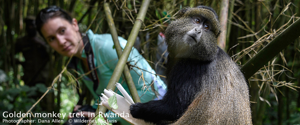Golden monkey trek in Rwanda