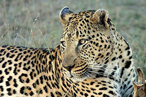 Leopard - Highlights of Kenya - Kenya Safari by Africa Discovery