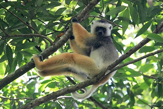 Diademed sifaka - Andasibe National Park