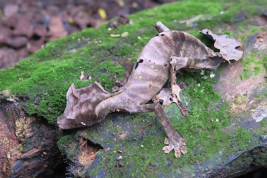 leaf-tailed gecko in Madagascar