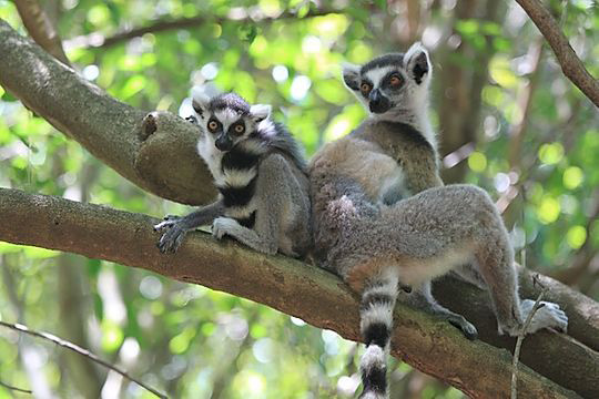 Ring-tailed lemurs in the Ifotaka North Protected Area's Gallery Forest
