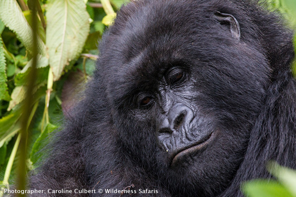 The dominant silverback - Gorilla trekking at the Parc National des Volcans