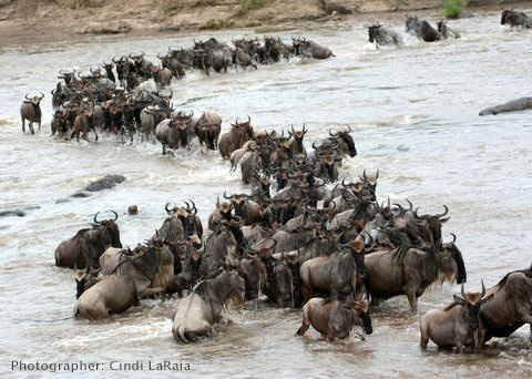 Wildebeests crossings of the Mara River - Great migration