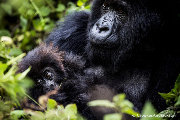 Gorillas - Mother and infant, Titus group
