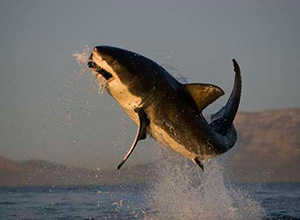 Flying Great White Sharks, Seal Island - False Bay, Cape Town, South Africa