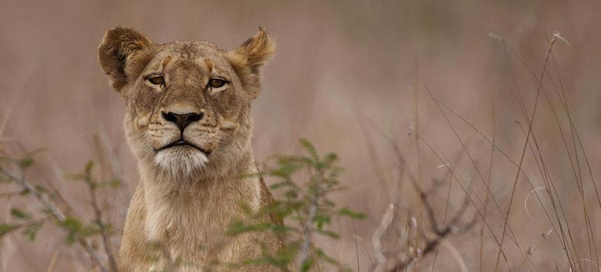 Singita Private Game Reserve - Kruger National Park and Sabi Sand Reserve - South Africa Safari Lodge