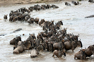 wildebeest migration are the crossings of the Mara River