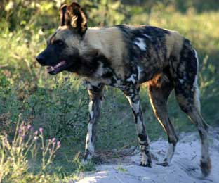African Wild Dogs - Best of Botswana, Cape Town May 12-24 2010 Trip Report
