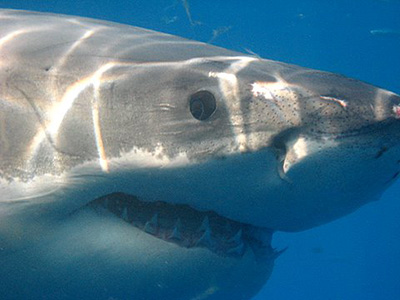 Cage Diving with Great White Sharks ~ South Africa