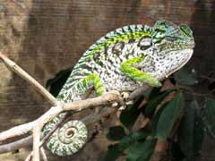 Chameleon - Madagascar, October 2-19 2011 Trip Report