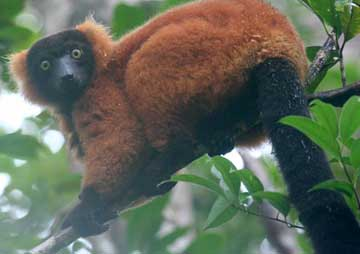Red Ruffed Lemur - Madagascar, October 2-19 2011 Trip Report