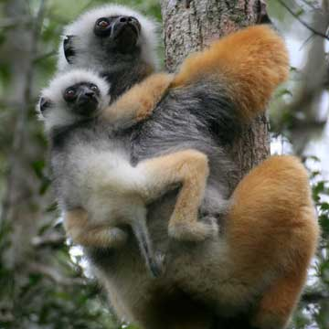 Golden Sifaka - Madagascar, October 2-19 2011 Trip Report