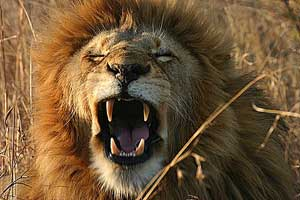 Lion seen in South Africa and Namibia Safari with Africa Discovery