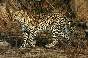 Leopard in South Africa and Namibia Safari with Africa Discovery
