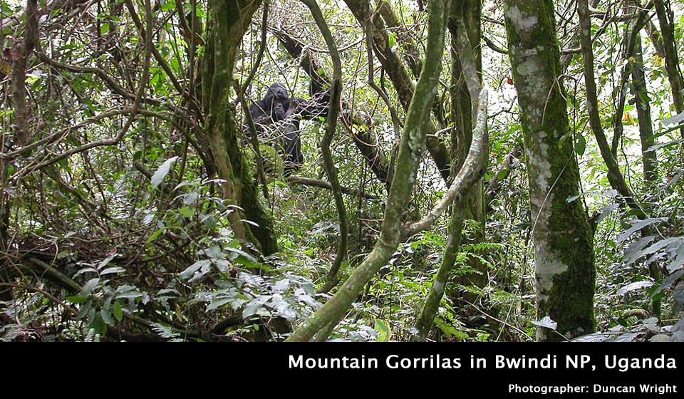 Mountain gorillas in Bwindi National Park, Uganda